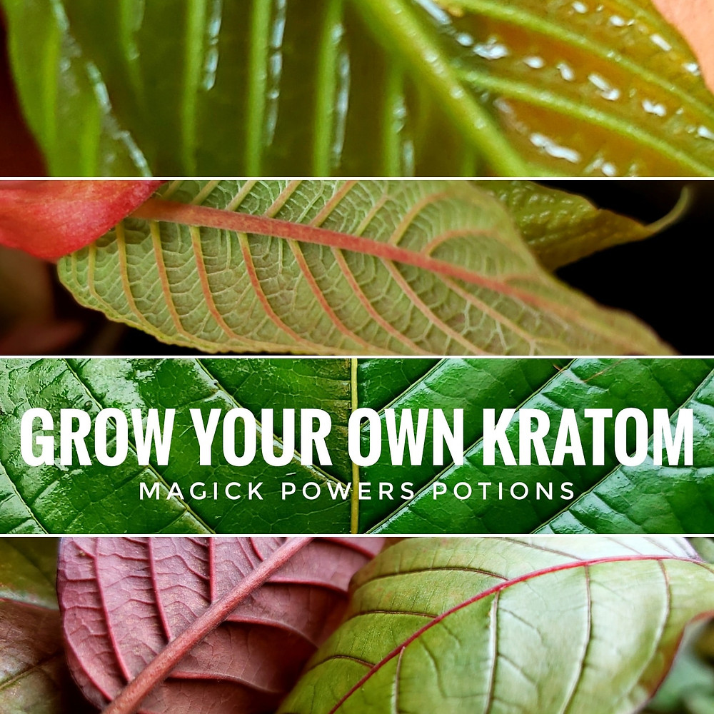 Grow your own kratom! Inventory available from Magick Powers Potions.