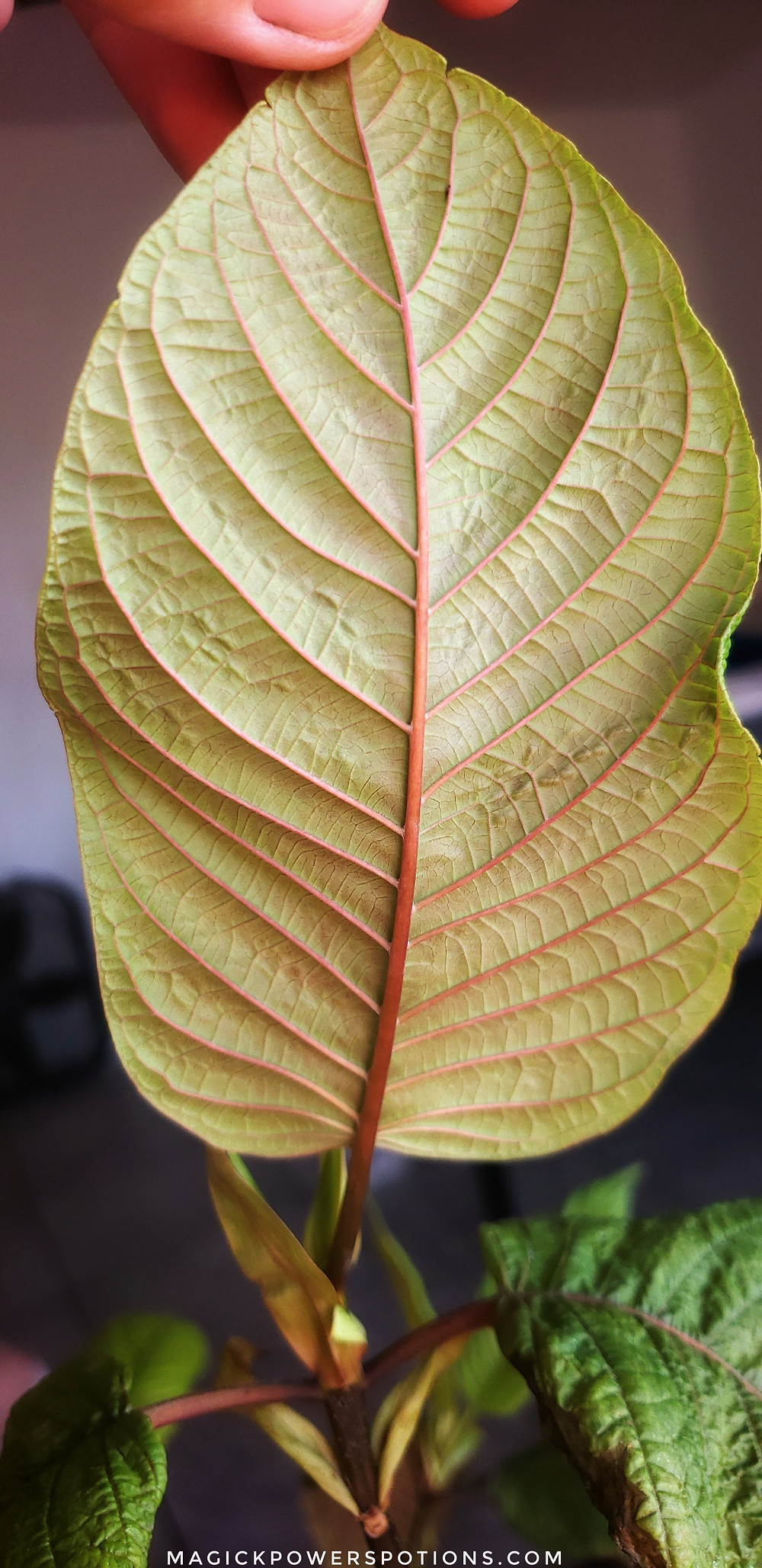 A close up of a heathy leaf underside. Notice the strength of form, beautiful colors and clean surface free from discolorations, bruising and pests. This leaf is still in the process of unfolding and its individual cells still have visible room to stretch.