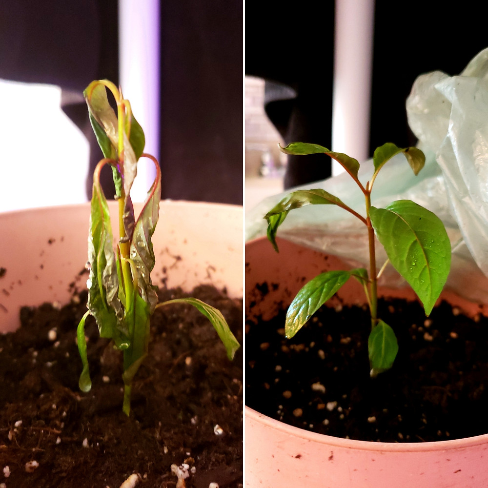 Kratom seedling with extreme droop and advanced humidity curl on the left; same specimen 18 hours later on the right. The plastic bag technique was used to revive this specimen. Only minimal cosmetic damage was sustained. The specimen will outgrow this minor damage and is not harmed in any way.