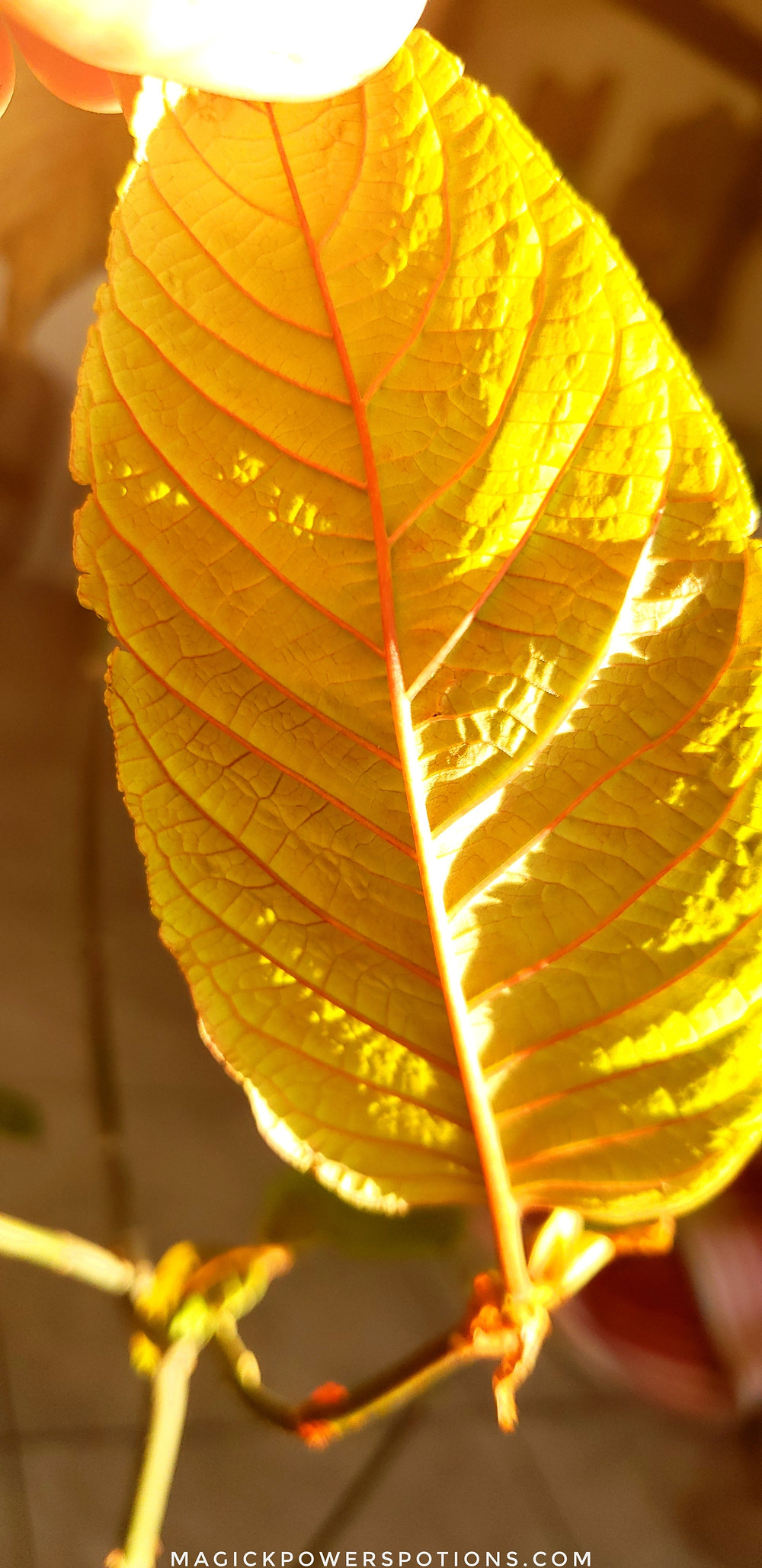 The underside of this newly formed kratom leaf is Big Bird yellow with florescent orange veins. Highlighted by the golden glow of the setting sun, this specimen is crowned in the light of divinity.