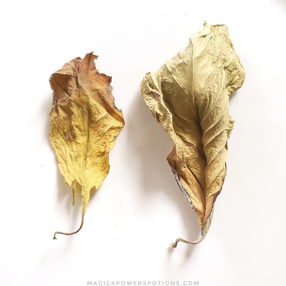 Can you tell the difference between the real yellow kratom leaf and the man-made one? The leaf on the left was yellow on the tree. The leaf on the right was green and cured deeply to first turn red, then become sun bleached in highly oxidizing conditions. Note: don't eat the one on the right... it fell into some fertilizer dust!