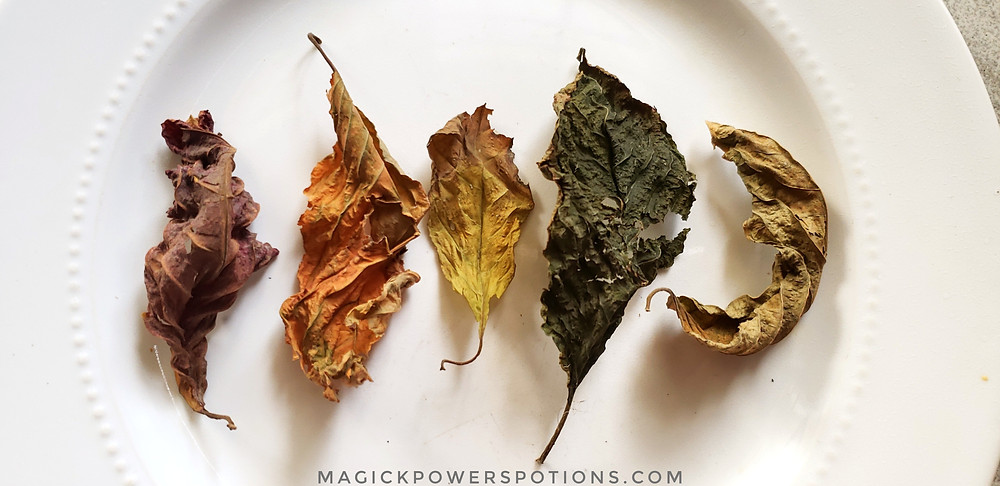 Some kratom leaves we've cured at Magick Powers Potions. Taste the rainbow!