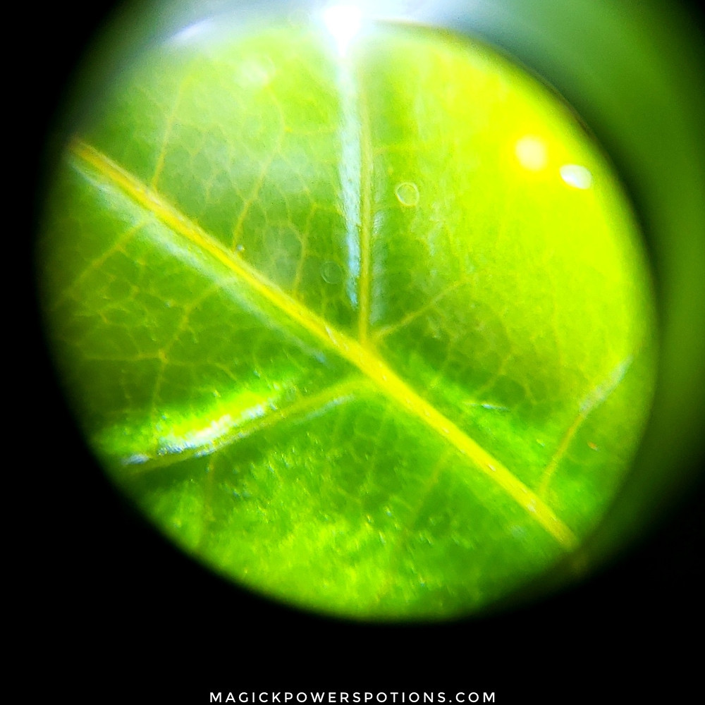 The topside of a young Costa Rican kratom leaf reflects a green leaf body and a yellow vein. The bottom of the leaf shows red running through the veins, but this is not visible on the topside.