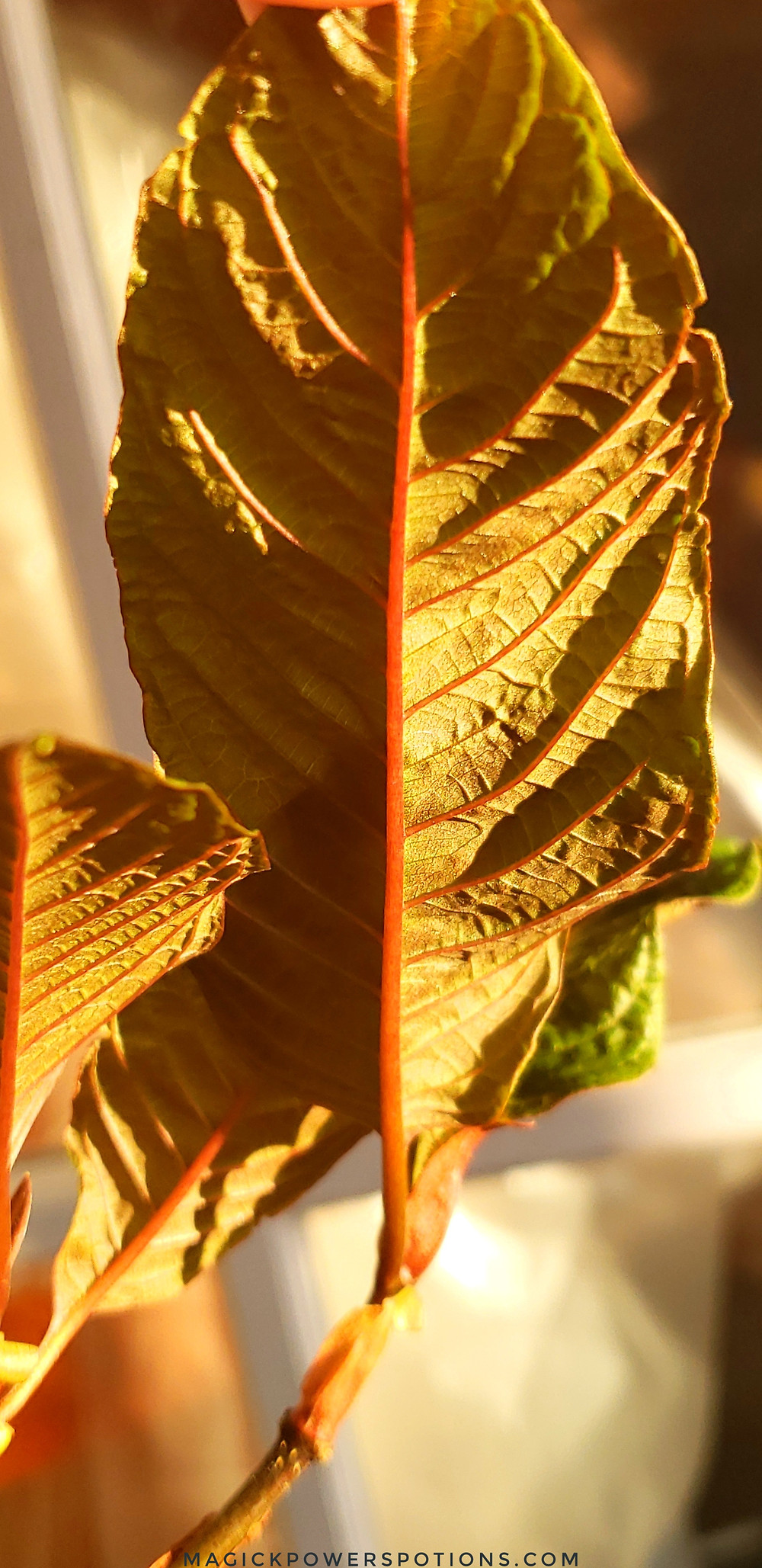 This glorious kratom leaf stands erect in the sunlight, engorged with life and moisture. The leaf is continuing to expand and unfurl, and it will grow in size as it further stretches open.