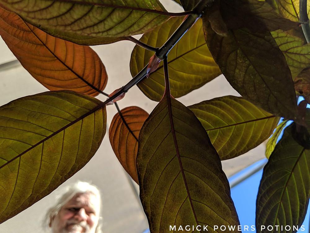 Glenn Bradford peers through the leaves of one of his young kratom trees.