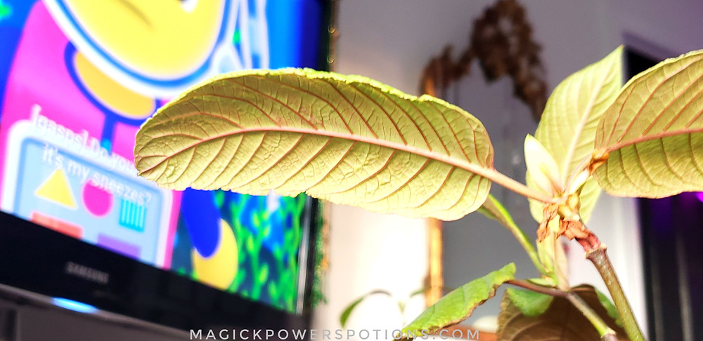 This kratom specimen enjoys watching cartoons. Congratulations, you just found the easter egg in the Refoliating Kratom blog. Contact us for an entry into our current plant giveaway contest.