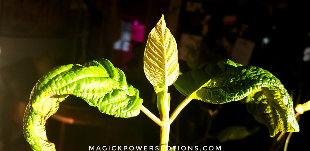 The contrasting colors of the leaf tops and undersides is highlighted in this photo, as this beautiful kratom specimen stands regally in the sun with her arms outstretched.