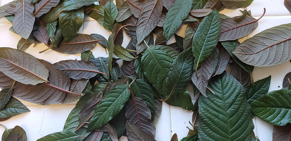 The beautiful colors of kratom leaves from seed-sown trees genetically sourced from the ancient Borneo rainforest