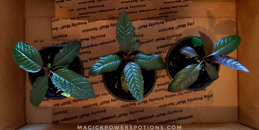 Three Borneo seedlings. These have been acclimatized and hardened off.