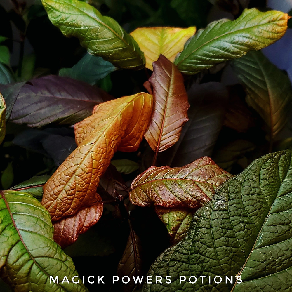 A beautiful example of multiple kratom pigments together in a dazzling display.