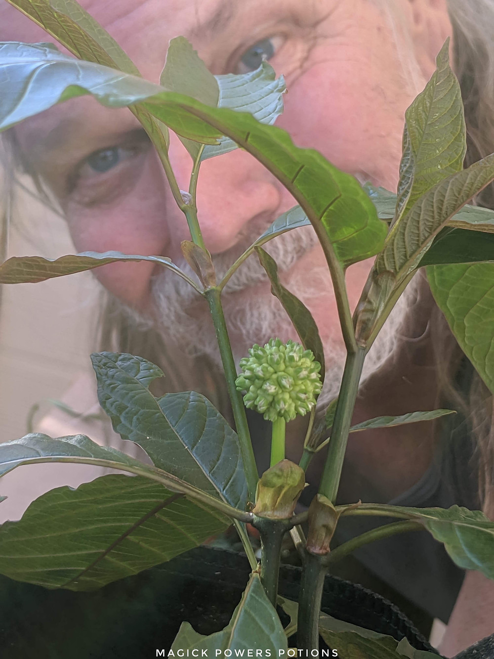 Glenn Bradford smiles as he peers through the leaves of his flowering kratom specimen. This photo was taken 6 weeks after the arrival of his plants and 5 months following the date of the initial seed sowing.