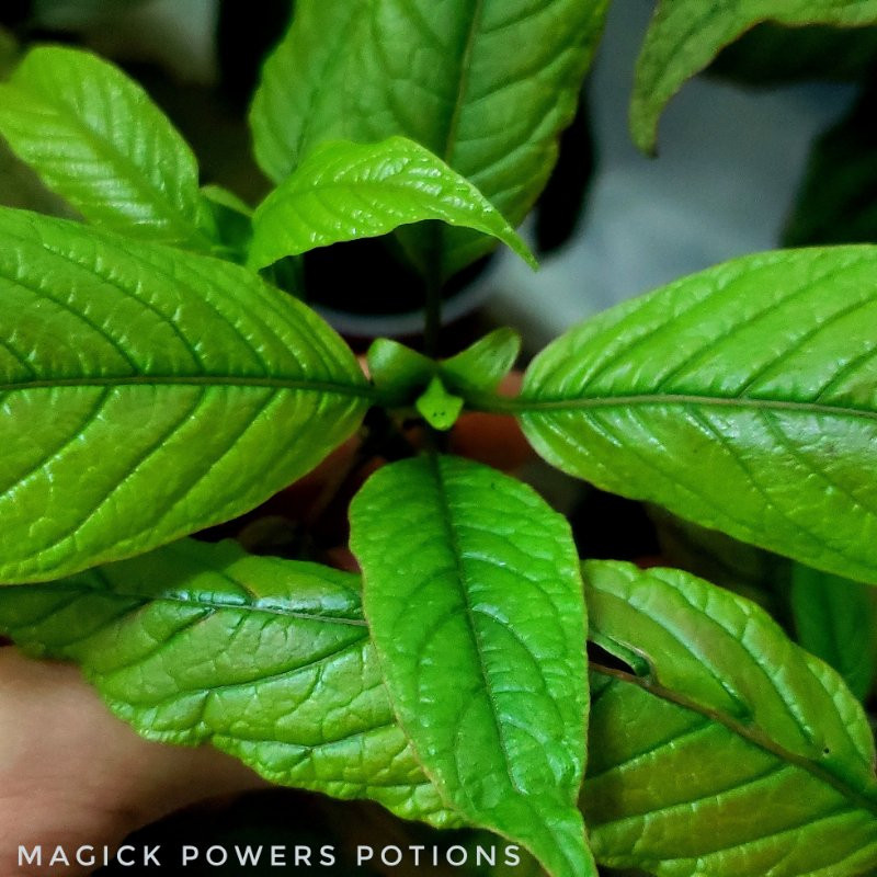 This beautiful kratom plant is a flourescent lime green. Levels of minerals in the soil contribute to the colors of kratom, along with temperature, humidity, soil pH and other environmental factors.