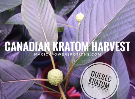 Flowering Kratom Harvest in Canada