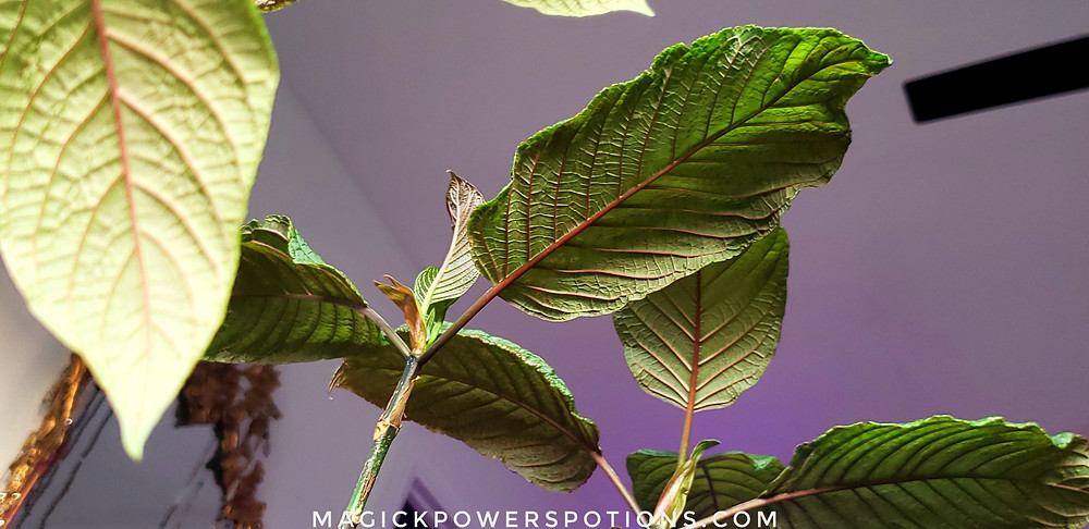 The vigorous life force of healthy, well-cared-for kratom is undeniable.