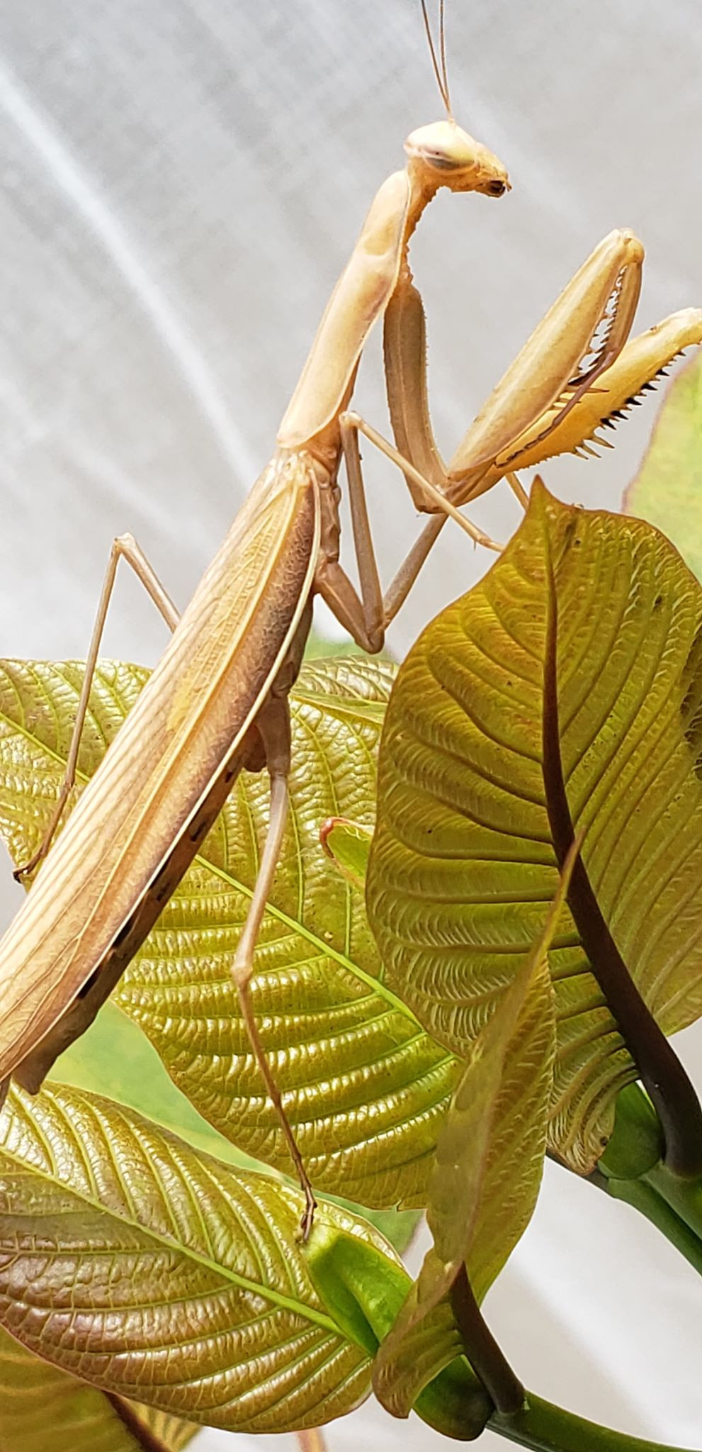A hungry mantis sits atop kratom leaves waiting for her next meal.