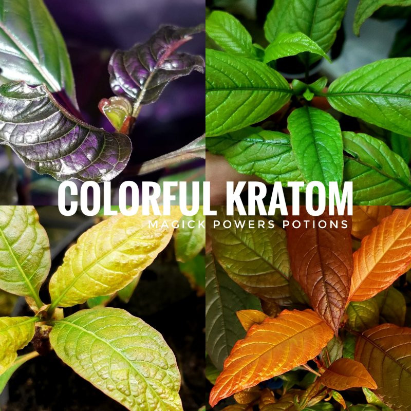 These are real photos of real kratom specimens cultivated in controlled conditions in the Magick Powers Potions genetics greenhouse. Kratom can turn any number of stunning colors due to changes in environmental factors.
