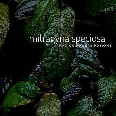 beautiful wet mitragyna speciosa leaves