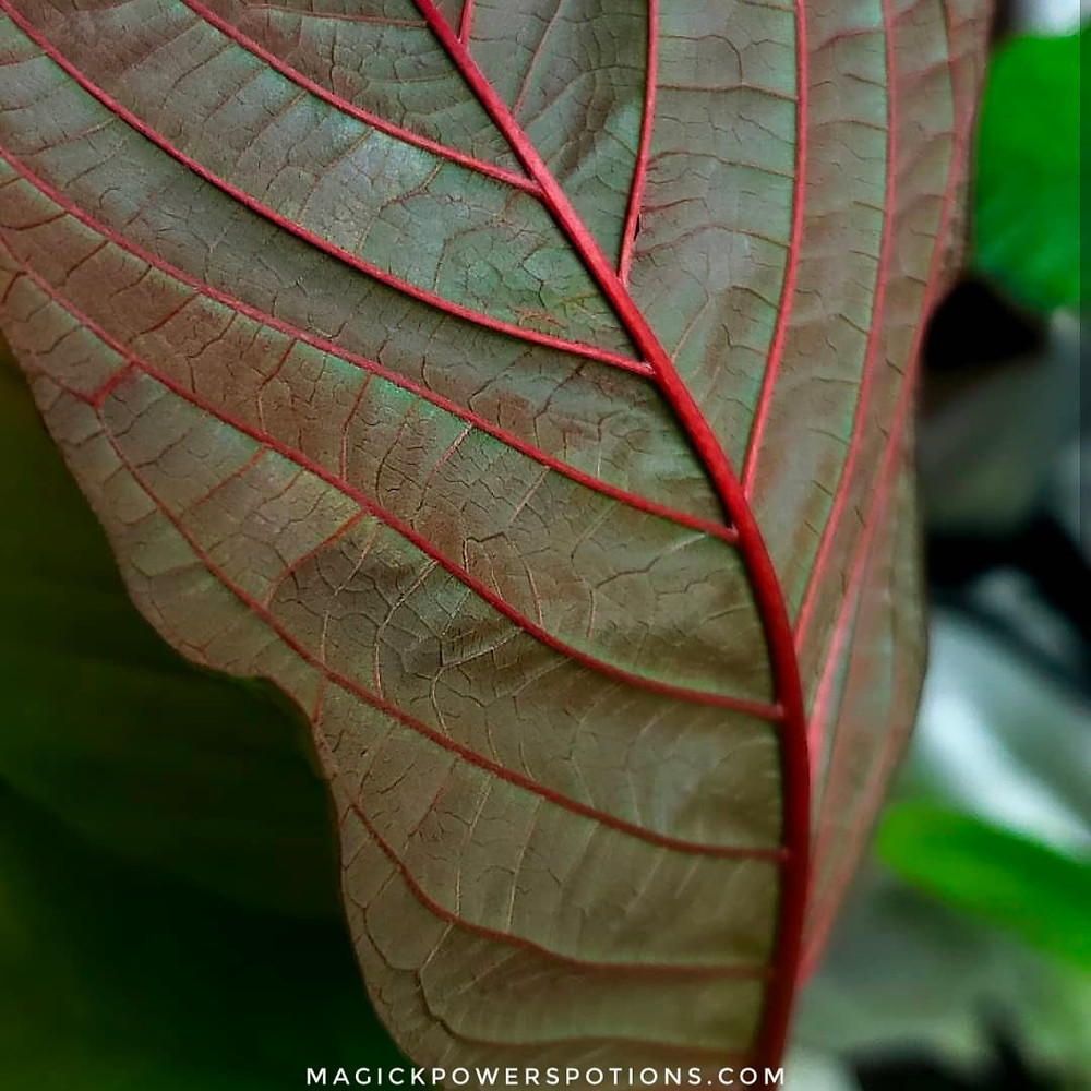 Beautiful claret red veins on the underside of this kratom leaf from Magick Powers Potions Borneo Rainforest line