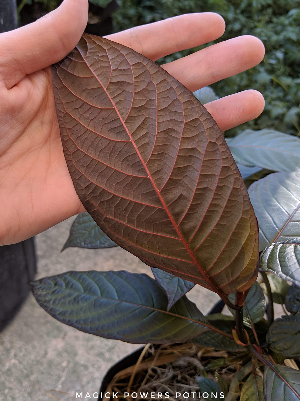 The leaves feature impressive vascularity.