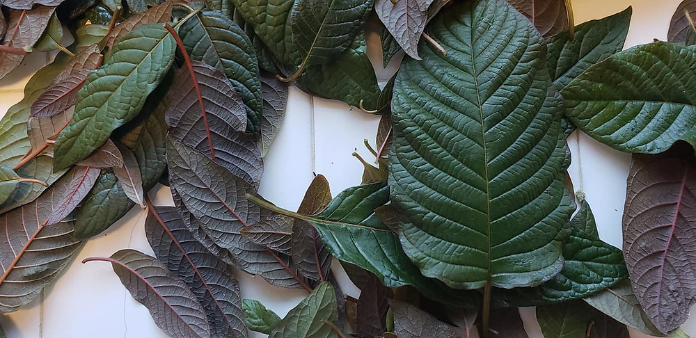 Kratom can have potent alkaloids at less than a year of age.