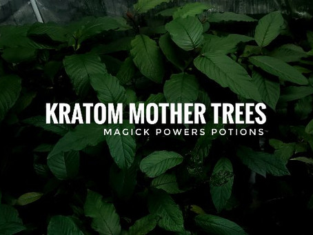 Kratom Mother Trees