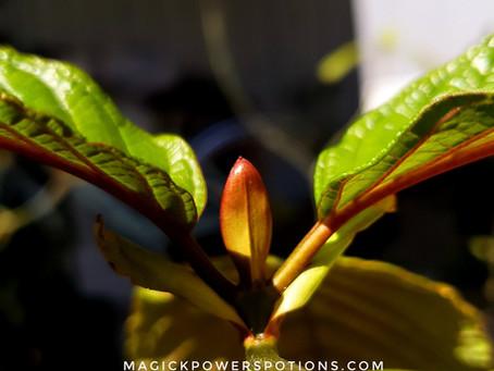 Premium Kratom Seedlings & Clones