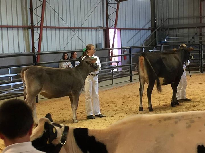 4H Cow Show