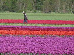 Dutch Tulips on Display
