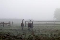 The herd in the fog
