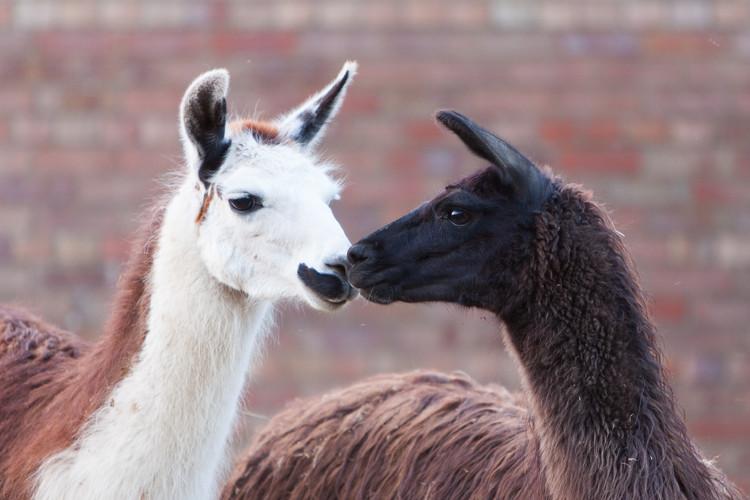 Lollipop and Kamilah llamas touching nos