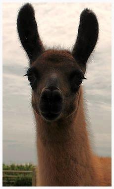 Leanne's Llama Journey
