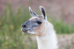 Lila head llama at Faster Lente Llamas