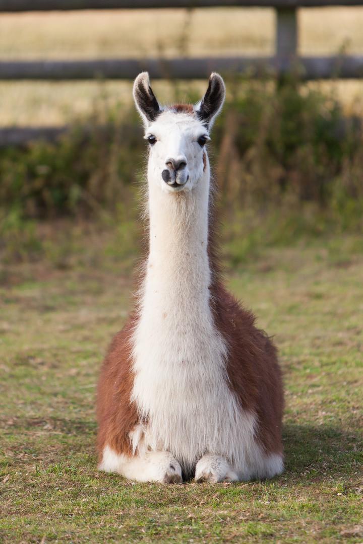 Lollipop the llama