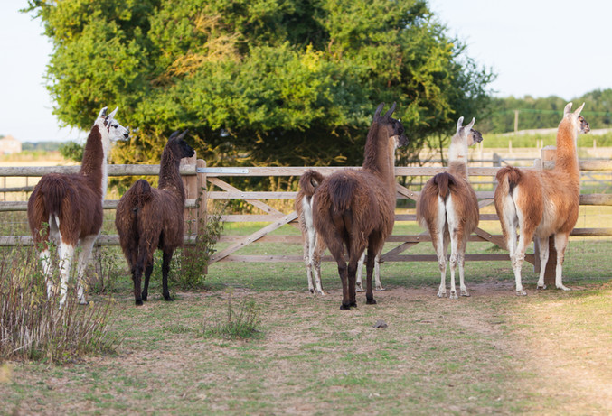 llamas standing by gate