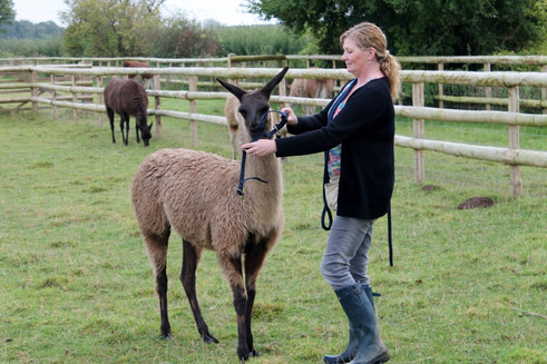 Haltering a llama, training llamas, trai