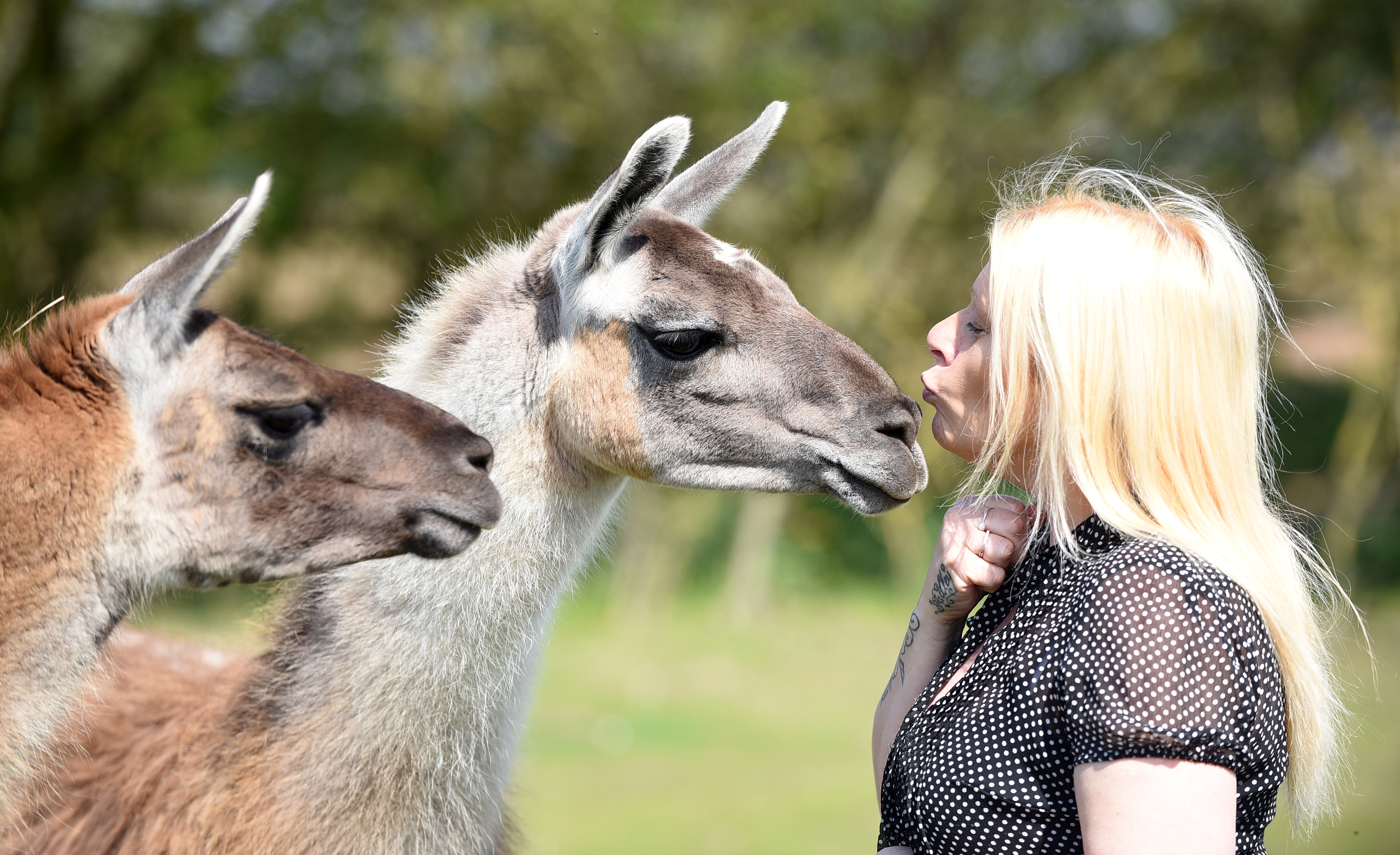 Friendly and approachable llamas