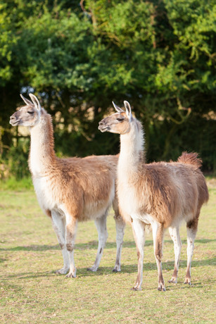 Lucy and Lila llamas in a field