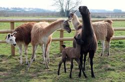 Jasmine meets the herd
