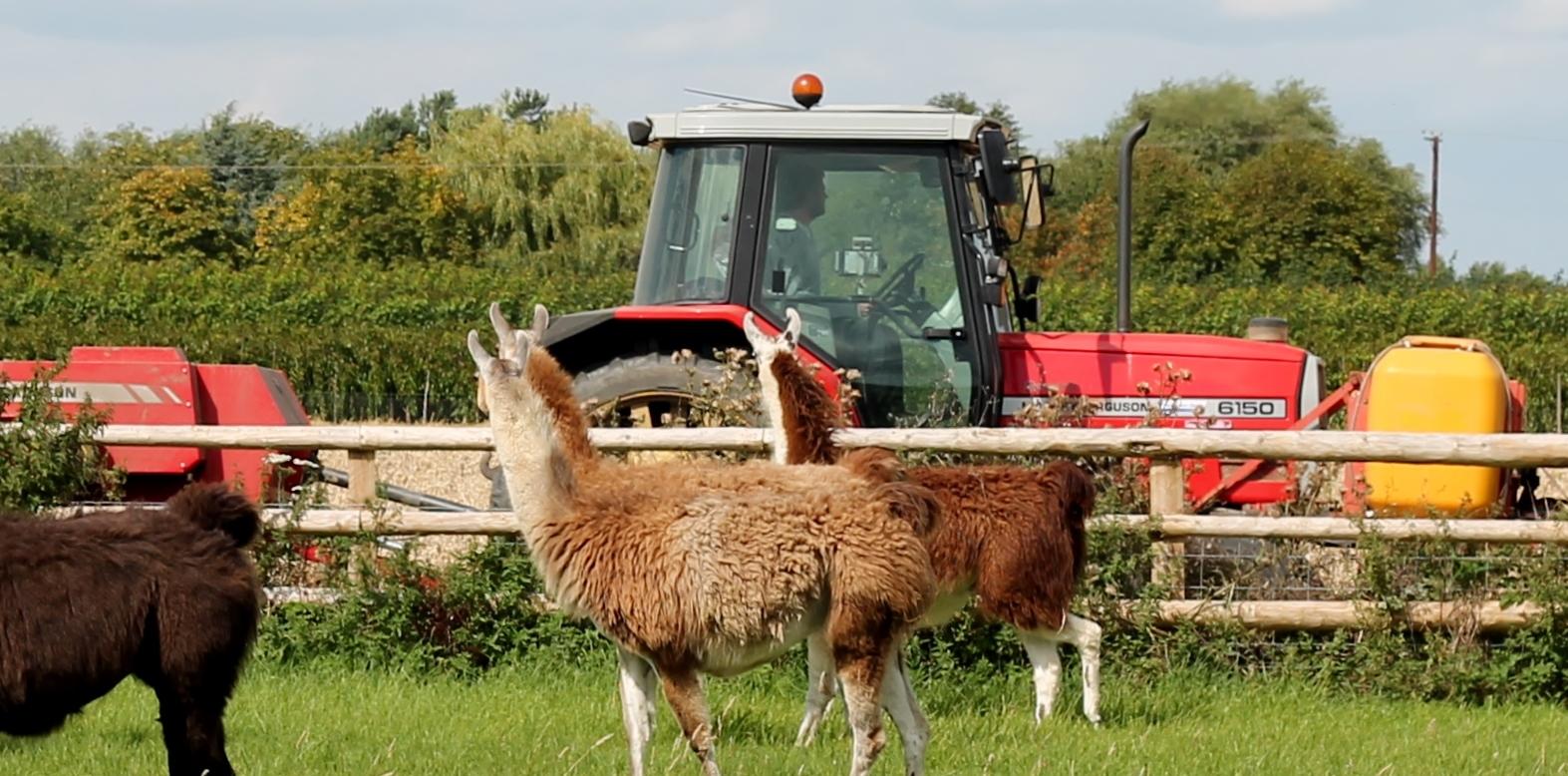Llamas watching a tractor