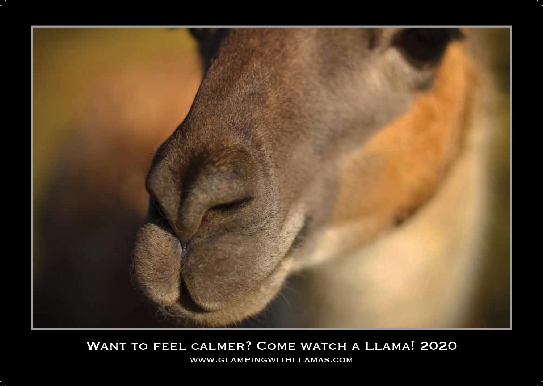 Llamas (Glamping with Llamas)  Calendar