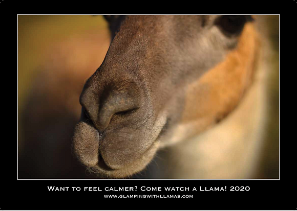 2020 Calendar of the Faster Lente Llamas herd
