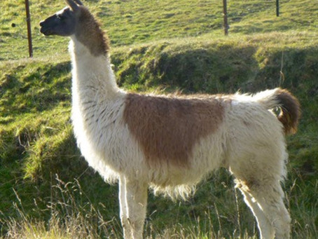 Preserving the Llama