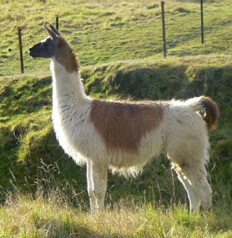 Improved DNA analysis then showed the llama to be a domesticated guanaco and the alpaca a domesticated vicuna.