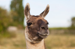 Amber the llama
