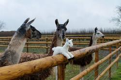 Introducing a toy llama