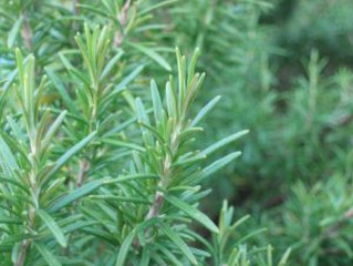 Losing hair after having a baby?  Try Rosemary Oil!