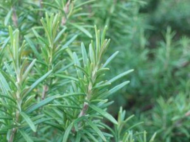 rosemary oil for hairloss