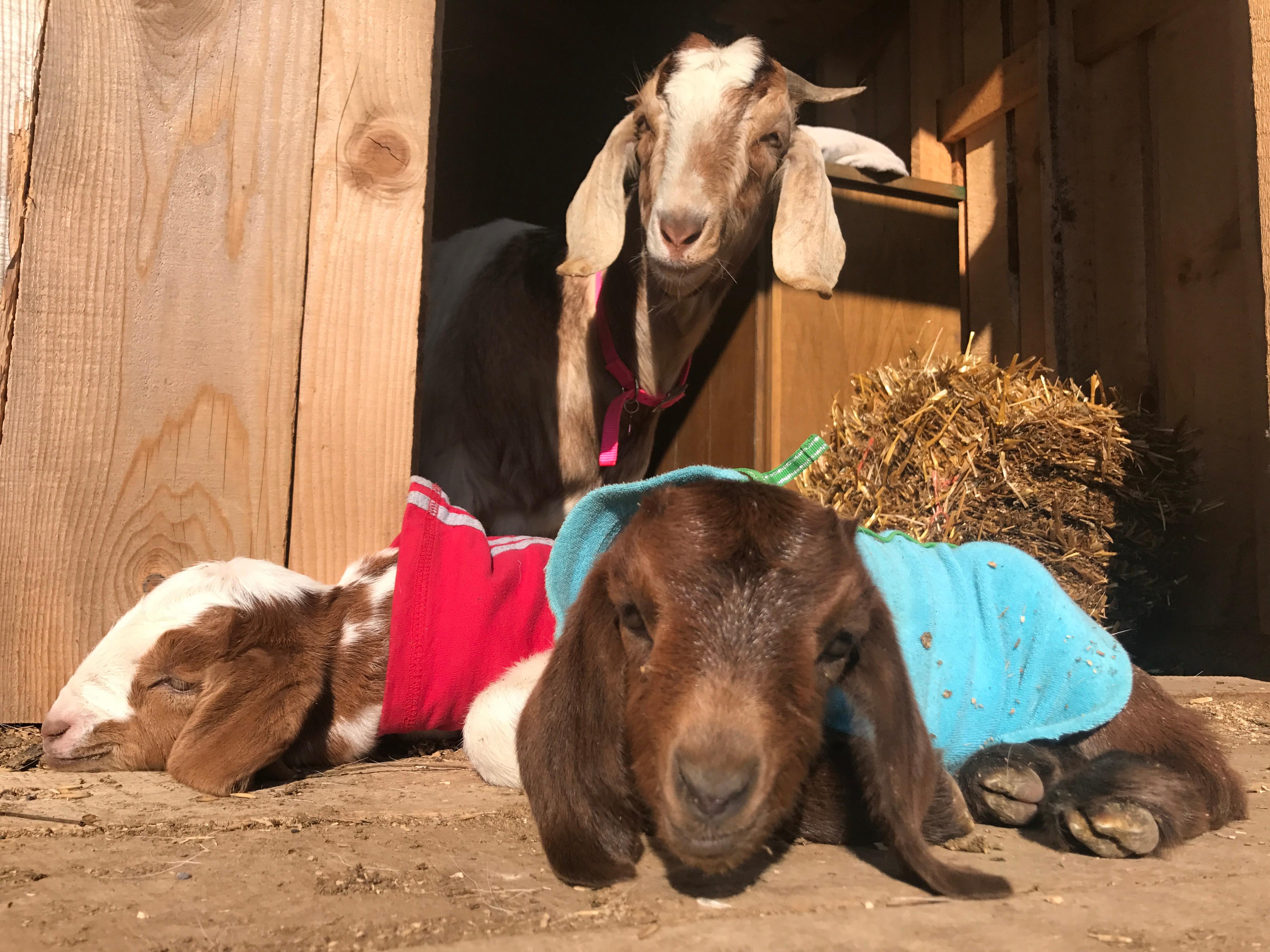 Private Goat Yoga (11-20)