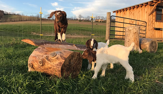 Goat Kids playing outsite