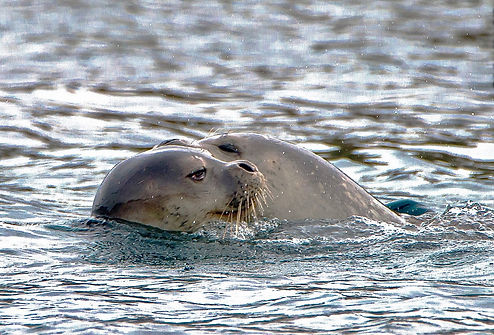 A seal swimming_